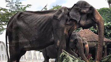 Heartbreaking photos show malnourished festival elephant performing in Sri Lanka.