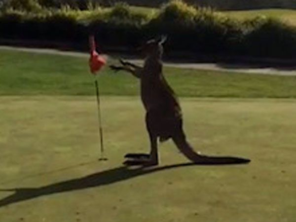 Boxing kangaroo interrupts professional golfer