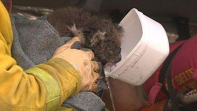 A firefighter helps an injured koala. (Twitter)