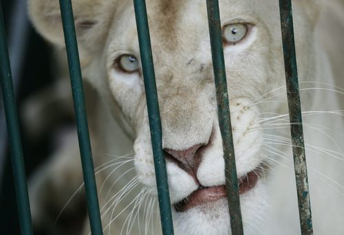 Zoo staffer mauled by white lion in Pakistan