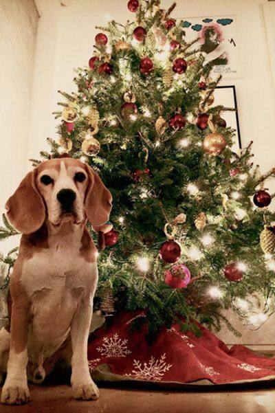 Model Julia Stegner's Beagle Kasper makes a pretty cute Christmas elf.