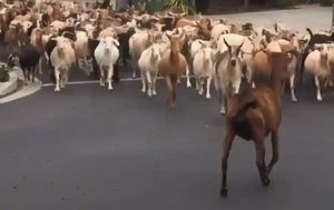 Herd of goats storms the streets of San Jose during coronavirus lockdown