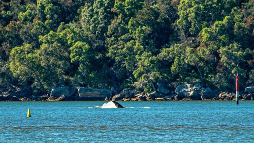 Whales in the Hawkesbury