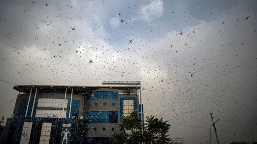 This May 10, 2020 photo shows locusts swarming over city and near by area in Ajmer, Rajasthan, India. Swarms of desert locusts have devastated crops in Indias heartland, threatening an already vulnerable region that is struggling with the economic cost of coronavirus lockdown. The situation is particularly grim in central Indias Rajasthan, where millions of locusts have been attacking crops since April. (AP Photo/Deepak Sharma)