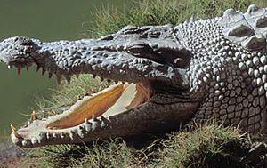 Crocodile bites man on head and neck near Lizard Island