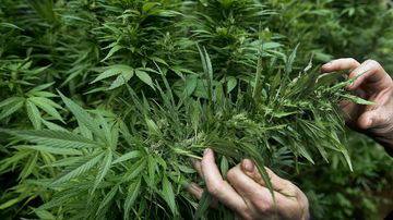 Medicinal cannabis will be trialled in NSW.