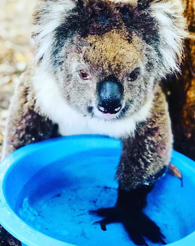 Koalas prefer to drink by lapping, so always place water below them rather than tip it down their throat.