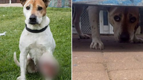 He was convicted after ignoring a cancerous, 1kg tumour on dog Bindi's leg.