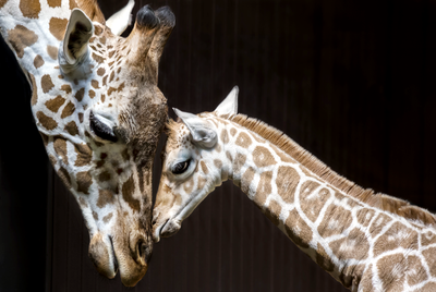 Female giraffes mourn their lost young
