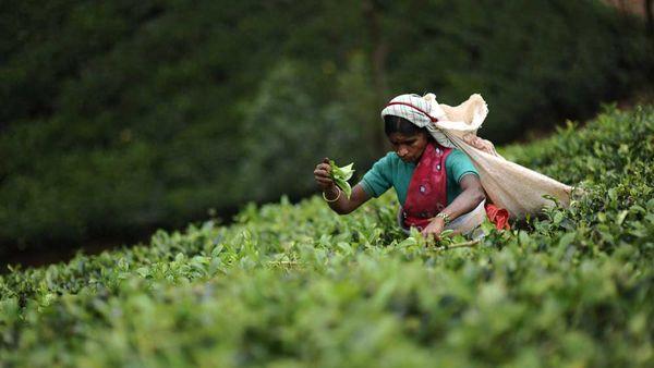 Tea plucker