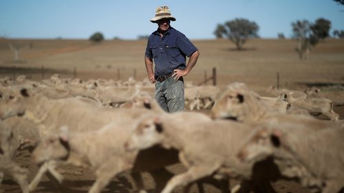 A farmer with sheep at his property in Larras Lee in central west NSW.
