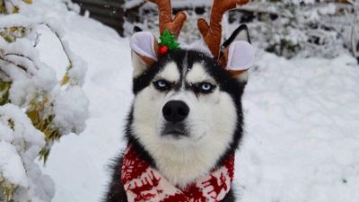This husky is unimpressed by your Christmas spirit