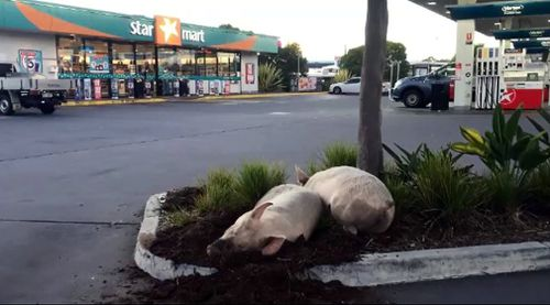 Nice spot for a snooze. Picture: 9NEWS