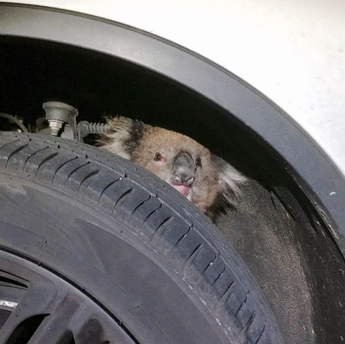 The koala was discovered inside the wheel arch of an Adelaide driver's car. (Supplied)