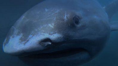 Alien sharks megamouth shark
