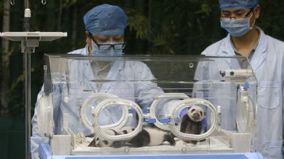 One month old Panda triplets rest as they receive a body check at the Chimelong Safari Park in Guangzhou in south China's Guangdong province. (AP Photo/Kin Cheung)