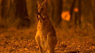 Wallaby licks its wounds in scorched bushland