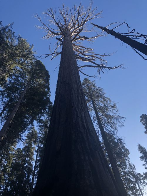 The sequoias can grow to over 90 metres tall, and stand for 3000 years. This sequoia, stripped of its needles, has been attacked by bark beetles.