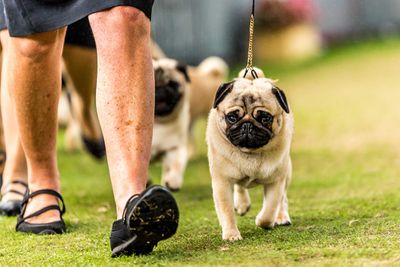 Best breeders' group in show: pugs