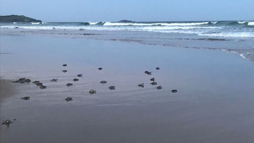 Seventy healthy hatchlings made their way to the shoreline last night. (Supplied)