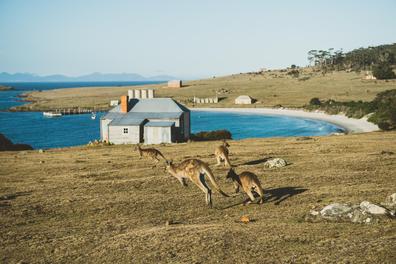 Maria Island kangaroos