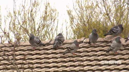 Birds flock to Mr Martell's property. (9NEWS)