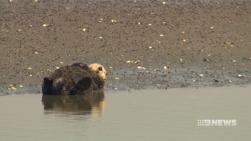 Sea Otters were shot and speared for their furs.