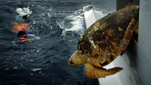 Fully grown, a loggerhead turtle can be more than a metre long.