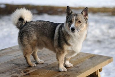 Swedish Vallhund<br>