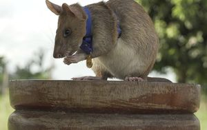 Giant rat wins top hero award for 'lifesaving bravery'