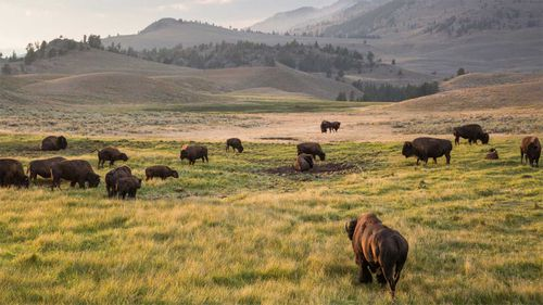 Yellowstone National Park is famed for its expansive beauty and wildlife.