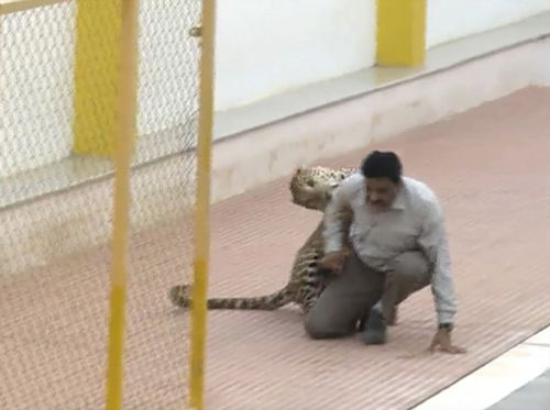 Footage of the 2016 incident showed the wild leopard darting towards the school's pool when it spotted unarmed wildlife expert Sanjay Gubbi.