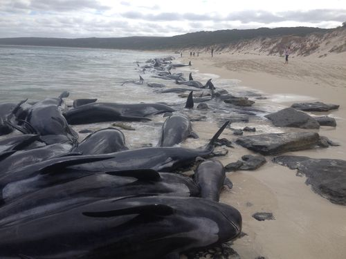 More than 150 whales have beached themselves at Hamelin Bay in Western Australia. (DBCA Media)