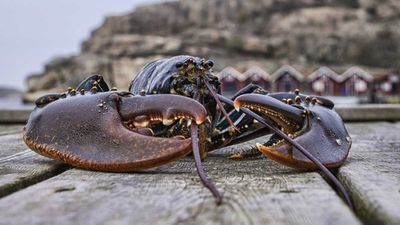 Switzerland bans boiling lobster alive cont.