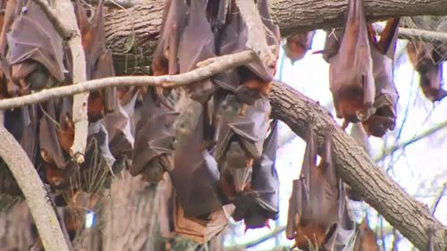Flying foxes have taken up residence in the Ipswich suburb of Yamanto. (9NEWS)