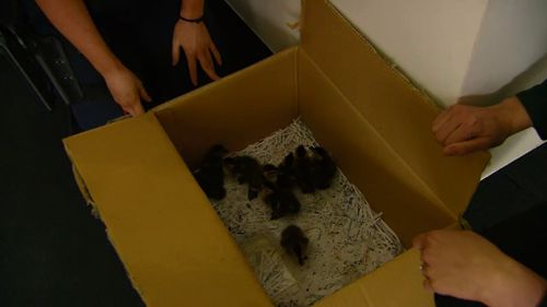Police located the ducklings' mother following an appeal for assistance. (9NEWS)