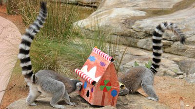 Lemurs were intrigued by hidey-holes in their gift.