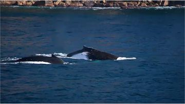 A diver off Sydney's eastern beaches has had a close encounter with two whales as they migrate north ahead of winter.