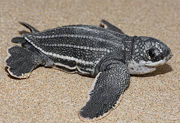 Daily Quiz: Which is the largest living species of turtle?