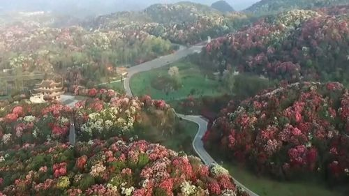 The scenic spot, covering a distance of around 130 square kilometres, is home to the world's largest primeval azalea forest. (AP)