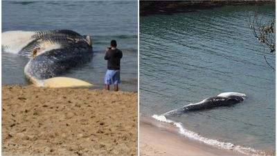 Royal National Park whale carcass can't be moved