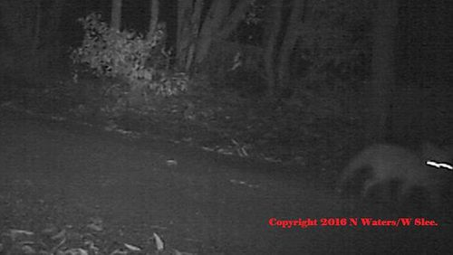 Group claims extinct Tassie tiger may have been captured on camera