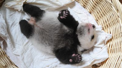 The oldest of the pandas is only two months old, the youngest was born less than a week ago.