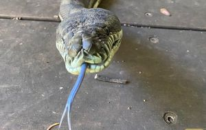 Snake catcher called to assist after massive pythons fall through Queensland retiree's kitchen ceiling