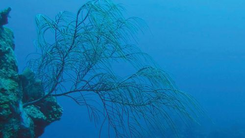 The antillogorgia sea fan was found at a depth of 100 feet in the Rariphotic Zone.