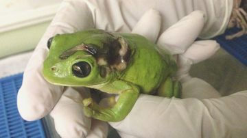 Frog hit by lawn mower flown to Cairns hospital for life-saving treatment