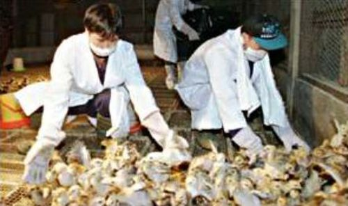 1.25 million chickens slaughtered in Hong Kong to prevent spread of deadly flu strain