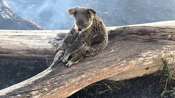 The pair were found clinging to a large branch in the scorched landscape by Jimboomba police officer Darren Ward.