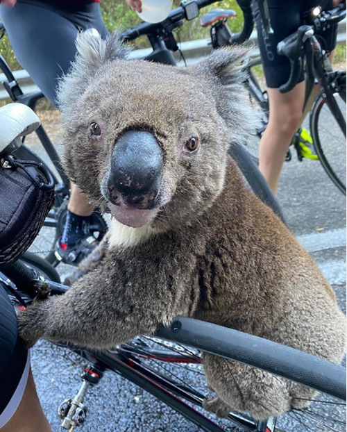 Thirsty koala approaches cyclists and chugs their water
