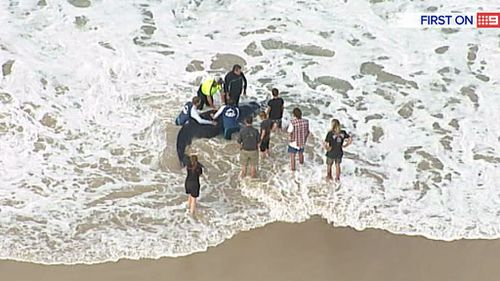 Gold Coast locals are attempting to roll the whale back out to sea. (9NEWS)
